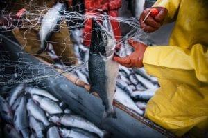 Commerical Fishing in Kotzebue Alaska